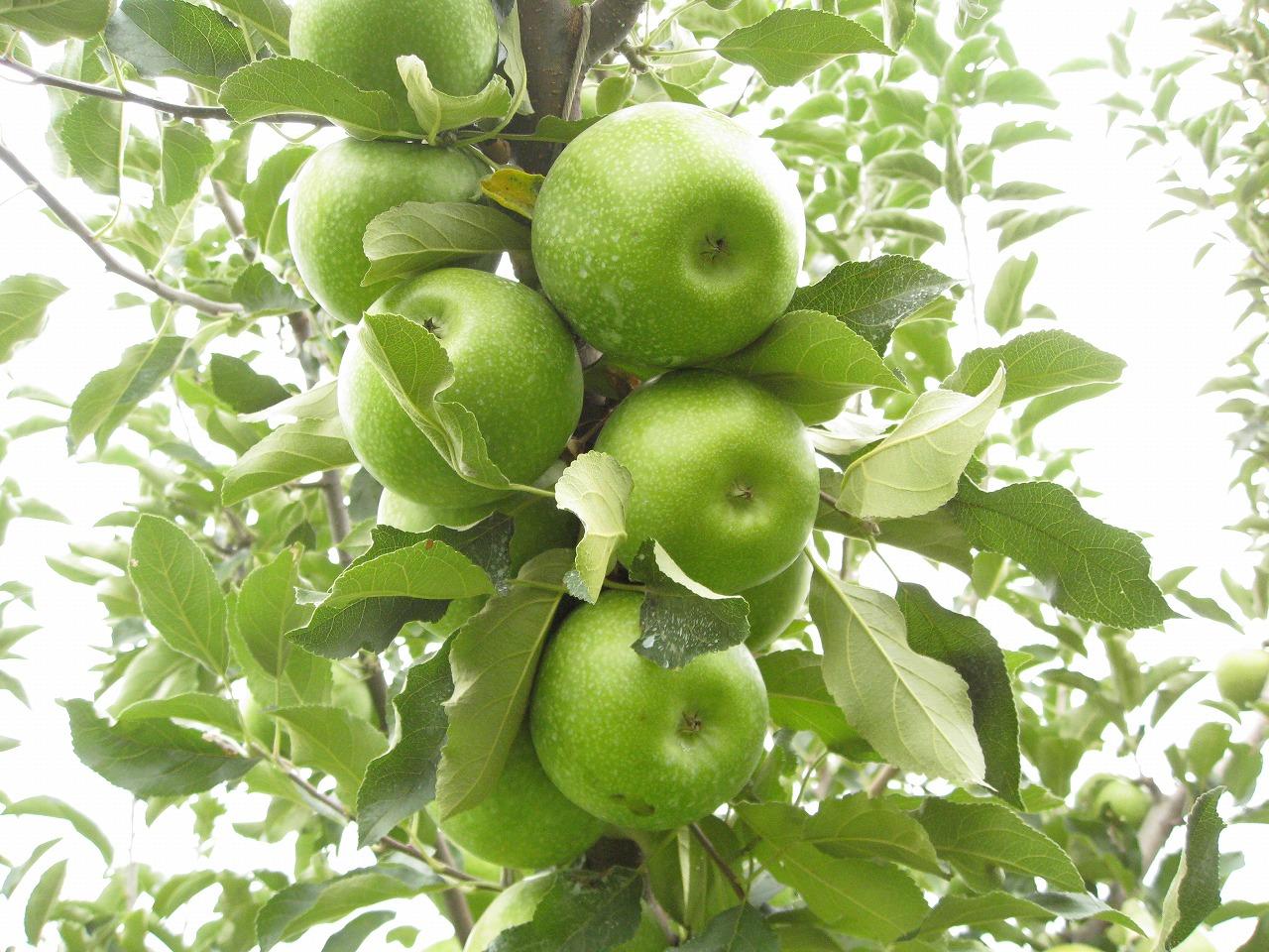 グラニースミスという品種は、小玉で放任でわわわわわっとならせ、早取りするりんごです。最近は人気が出てきたので作っている人もいますが、10年ほど前はほとんど作られていませんでした。りんごは嗜好品だから加工用ではお金にならない、というのが理由です。糖度が高く、大玉で、しかも赤いものが好まれるのです。