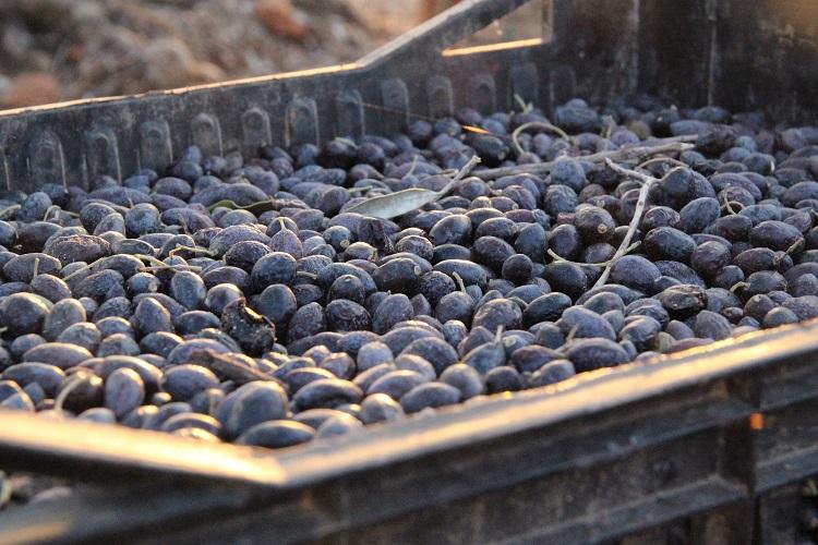 収穫したオリーブの果実