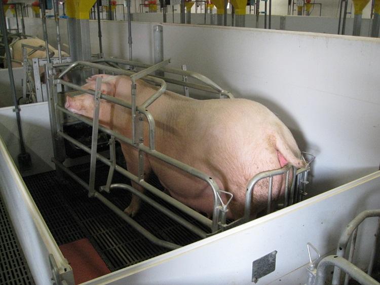 母豚のストール