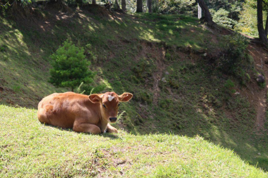 放牧されているジャージー牛